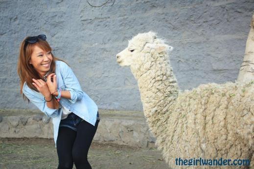 I swear this alpaca tried to smooch me.